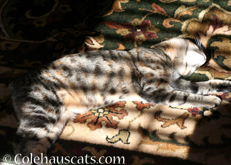 Sunshiny Napping Viola - 2014 © Colehaus Cats