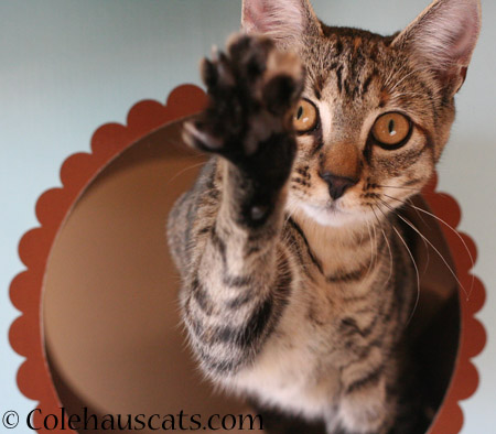 Beckoning Viola - 2014 © Colehaus Cats