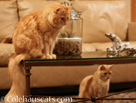Ginger Princesses Pia and Miss Newton  - 2014 © Colehaus Cats