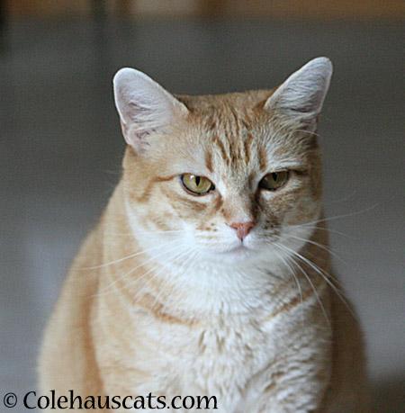 Grumpy - 2014 © Colehaus Cats