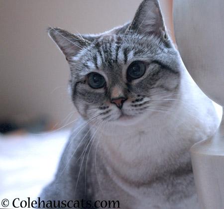 Mancat Maxx - 2014 © Colehaus Cats