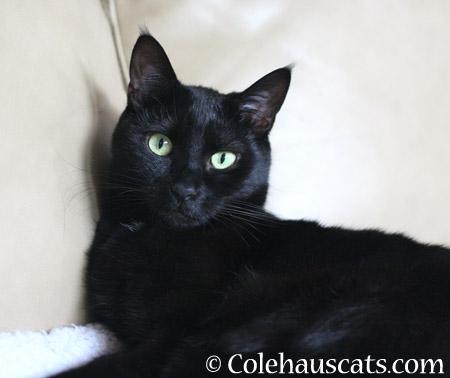 Olivia - 2014 © Colehaus Cats