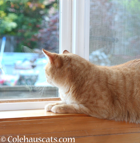 Guard Cat Zuzu - 2014 © Colehaus Cats