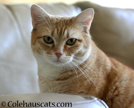 Zuzu on Patrol Watch - 2014 © Colehaus Cats