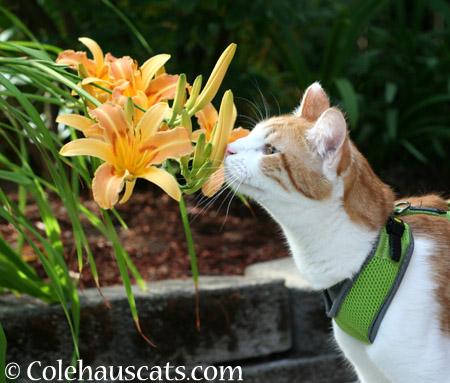 Quint's Bright Lilies - 2014 © Colehaus Cats