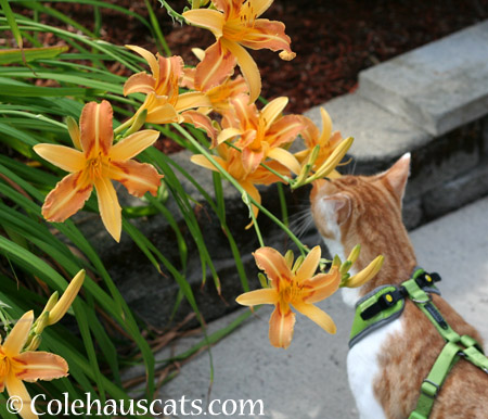 Bright Lilies - 2014 © Colehaus Cats