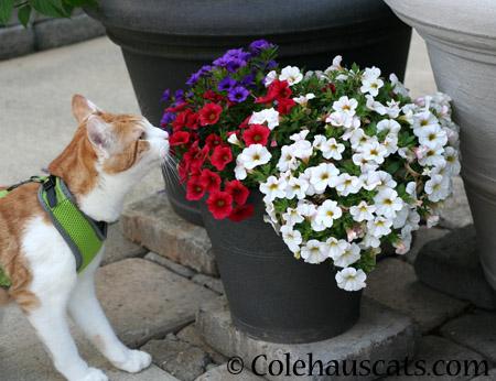Quint's Petunias - 2014 © Colehaus Cats