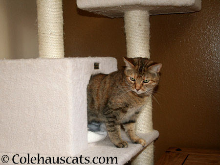 Ruby loves her new tower - 2014 © Colehaus Cats