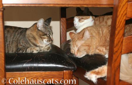 The Three Amigos - 2014 © Colehaus Cats