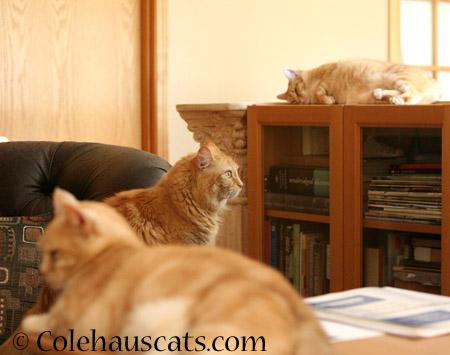 Ginger Girls - 2014 © Colehaus Cats