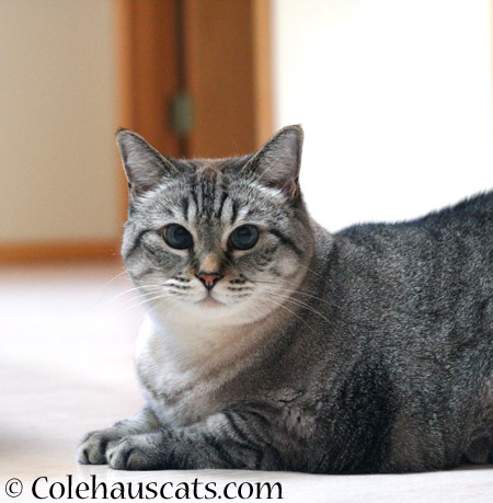 Maxx in September - 2014 © Colehaus Cats