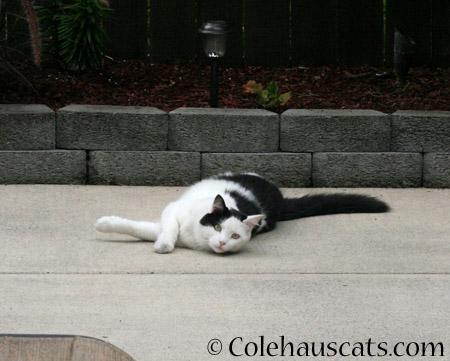 Neighbor cat Momo relaxing in the garden  - 2014 © Colehaus Cats
