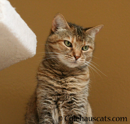 I am NOT a toy! - 2014 © Colehaus Cats