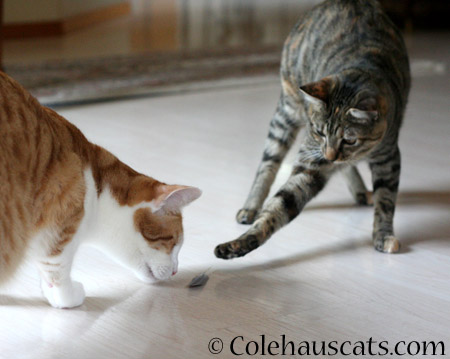 Not afraid to snag Quint's feather - 2014 © Colehaus Cats