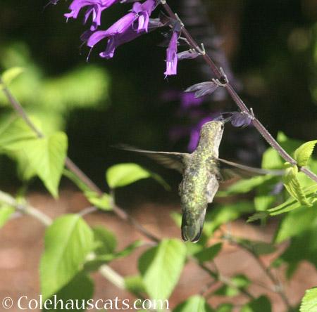 The hummingbirds  - 2014 © Colehaus Cats