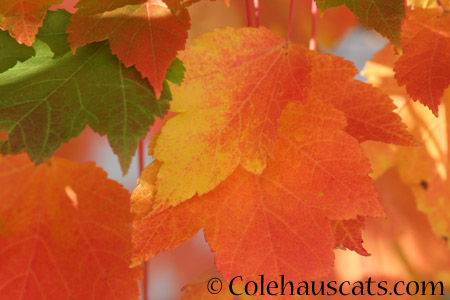 The maples are changing  - 2014 © Colehaus Cats