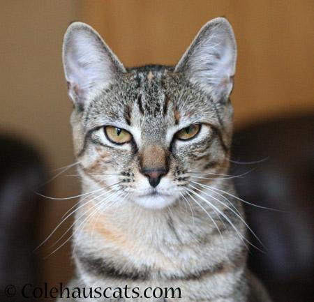 Skeptical Viola - 2014 © Colehaus Cats