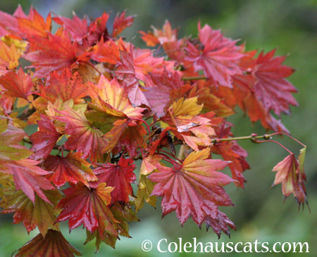 Pretty Fall Maple - 2014 © Colehaus Cats