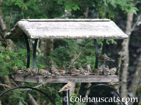 The Goldfinches and Pine Siskens - 2014 © Colehaus Cats