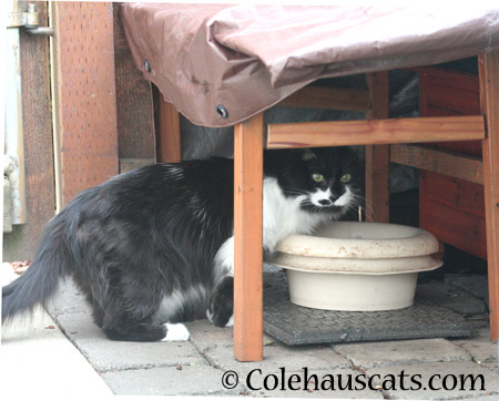 Mustacheo's Brother - 2014 © Colehaus Cats