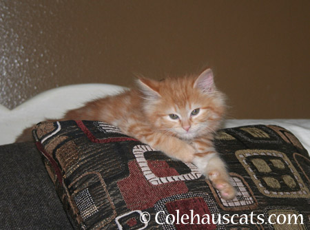 Little Pia Puff in 2012 - 2014 © Colehaus Cats