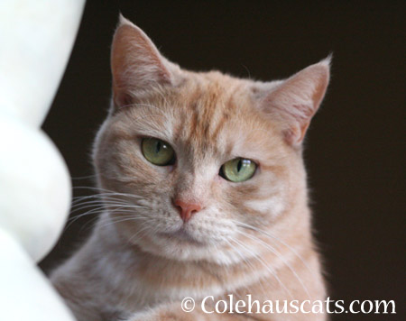 Miss Newton - 2014 © Colehaus Cats