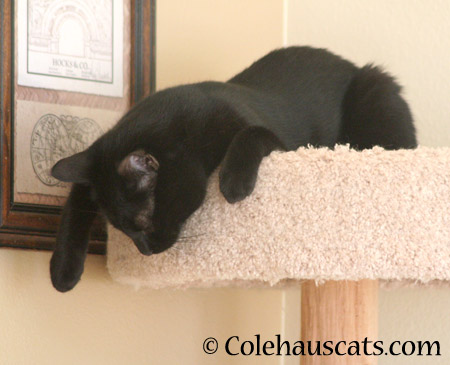 Sleepy, sleepy panther - 2014 © Colehaus Cats