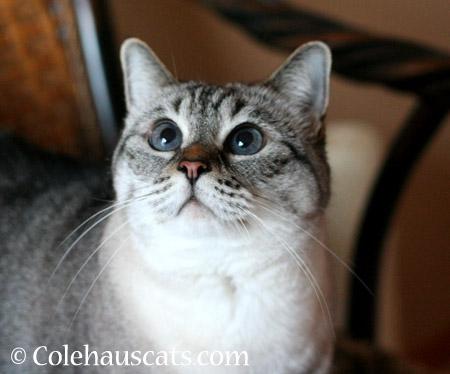 Hopeful Maxx  - 2014 © Colehaus Cats
