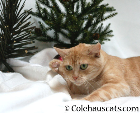 Practicing Whappy Paws for presents - 2014 © Colehaus Cats