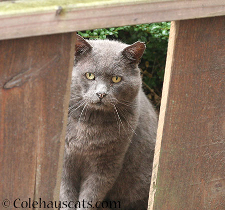 Churchill waiting for breakfast - 2014 © Colehaus Cats