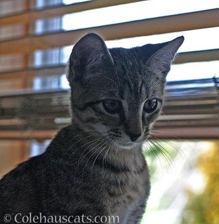 Those big eyes - 2014/2015 © Colehaus Cats