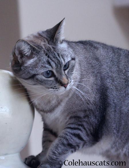 Maxx strikes a pose - 2014 © Colehaus Cats