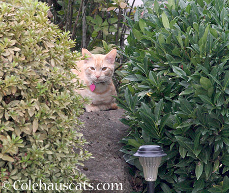 Sir Whittles, vole catcher - 2014 © Colehaus Cats