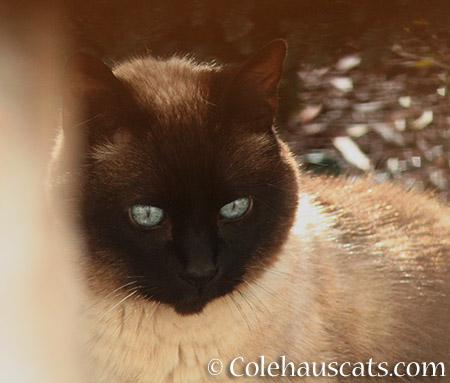 Cocoa - © Colehauscats.com