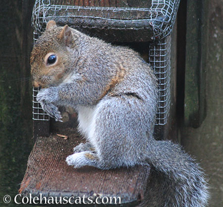 Limpy, the Squirrel - © Colehauscats.com