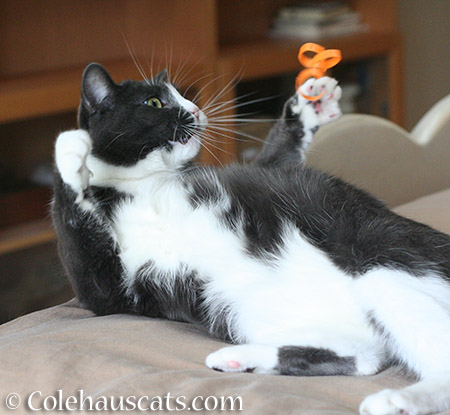 Toy Time with Tessa - 2015 © Colehauscats.com