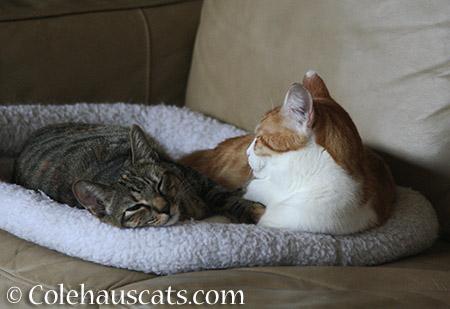 Viola loves Quint - 2015 © Colehauscats.com