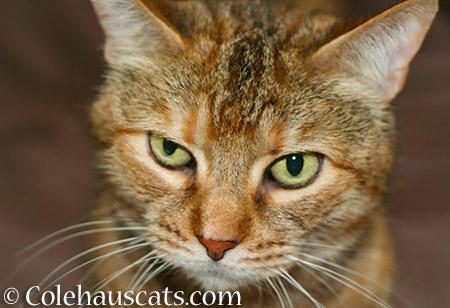 Ruby Insists - 2015 © Colehauscats.com