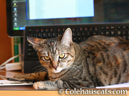 Trying to work, are you? - 2015 © Colehauscats.com
