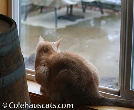 Watching the rain - 2015 © Colehauscats.com