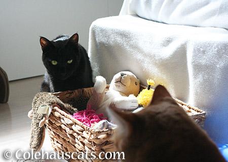Maintaining eye contact - 2015 © Colehauscats.com