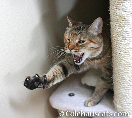 Cat-isthenics with a yawn - 2015 © Colehauscats.com
