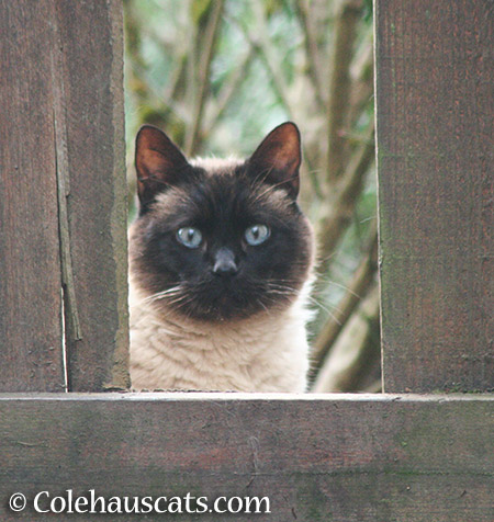 Cocoa - 2015 © Colehauscats.com
