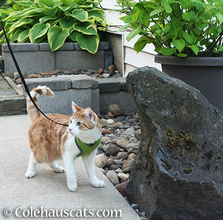 Out for a walk - 2015 © Colehauscats.com