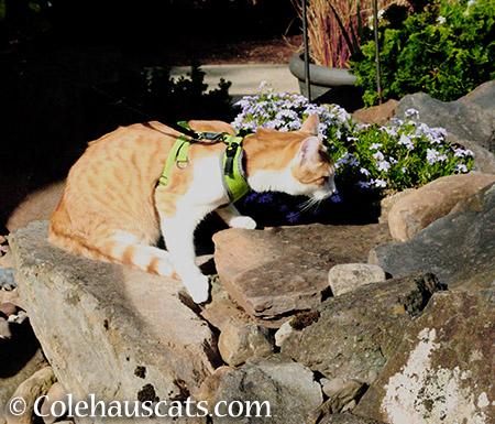 Quint sniffing out color - 2015 © Colehauscats.com