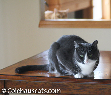 Tessa on the table - 2015 © Colehauscats.com