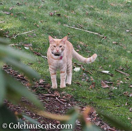 Neighborhood hunter - 2015 © Colehauscats.com