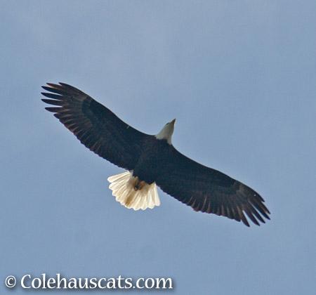 Bald eagle overhead - 2015 © Colehauscats.com