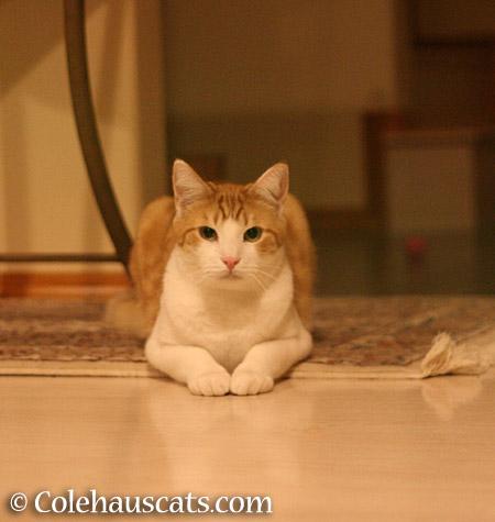 Quint says Hai! - 2015 © Colehauscats.com