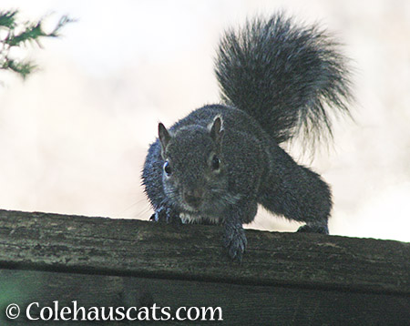 Curious squirrel - © Colehauscats.com